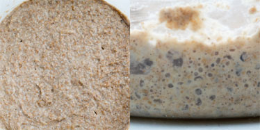 Views of a sourdough starter after 24 hours