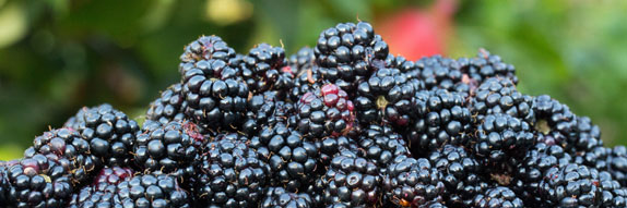 A dish of blackberries
