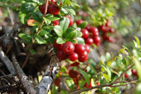 Lingonberries on a bush in Sweden