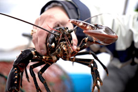 A female lobster held by a brave fisherman