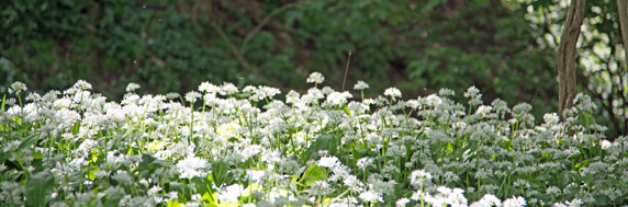 Wild garlic in flower in southern England